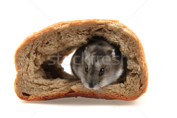dzungarian hamster in the bread Stock photo © jonnysek