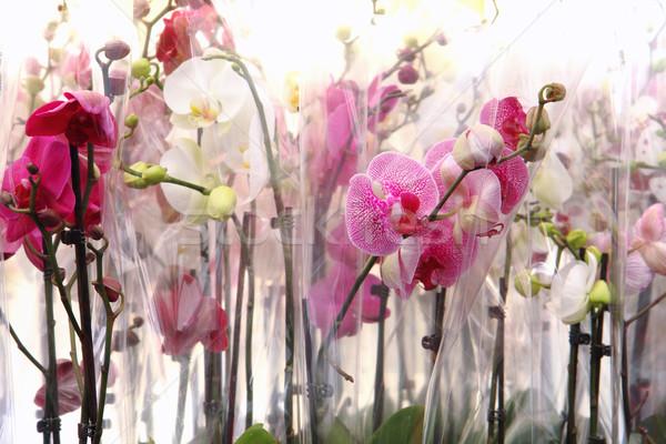 orchidea background Stock photo © jonnysek