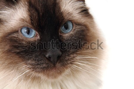 radgoll cat  Stock photo © jonnysek