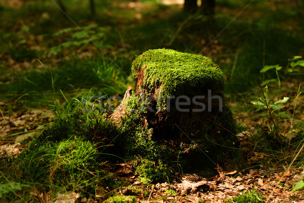 stump with moss  Stock photo © jonnysek