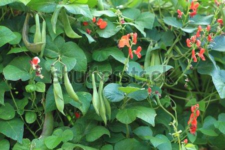 beans plants flowers  Stock photo © jonnysek