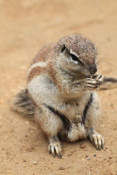 Egzotikus homok mókus kicsi sivatag Afrika Stock fotó © jonnysek