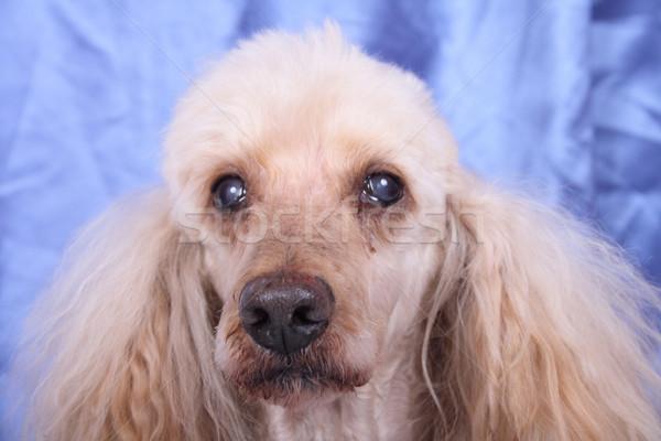 head of poodle Stock photo © jonnysek