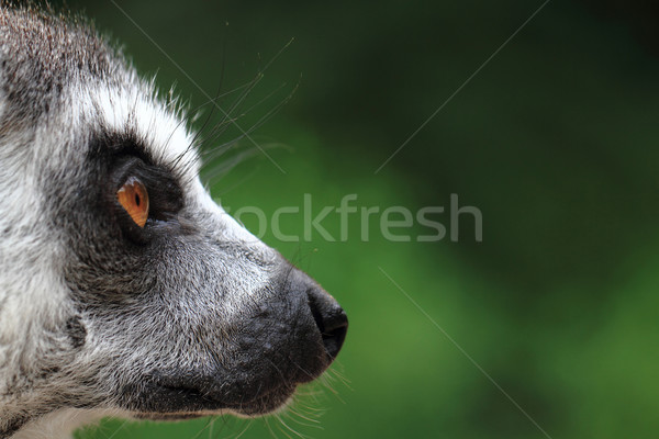 head of lemur monkey  Stock photo © jonnysek