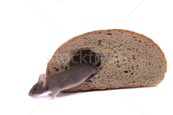 mouse and their house Stock photo © jonnysek