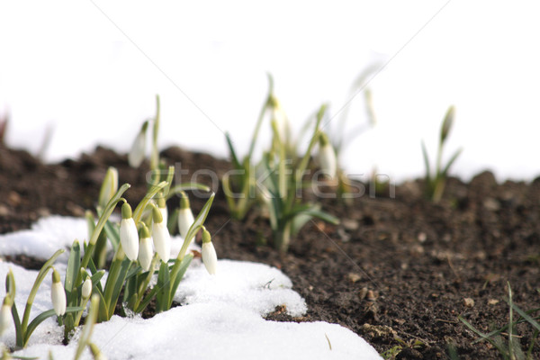 spring flowers Stock photo © jonnysek