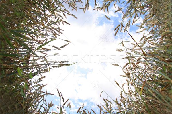 Dorado maíz cielo azul campo sol naturaleza Foto stock © jonnysek