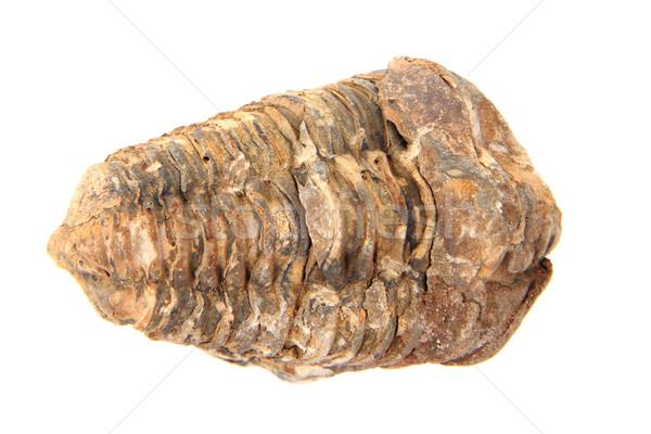 Eski fosil yalıtılmış beyaz deniz kaya Stok fotoğraf © jonnysek