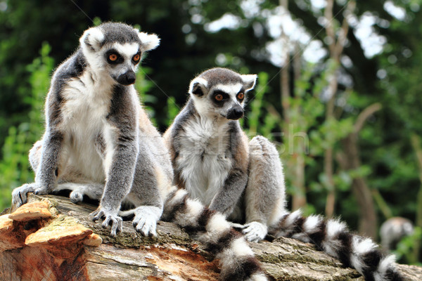 lemur monkeys are resting  Stock photo © jonnysek