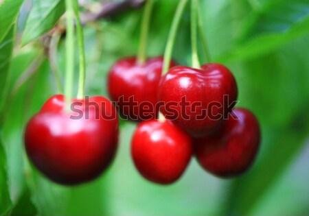 Cereja cerejas enforcamento primavera fruto Foto stock © joruba