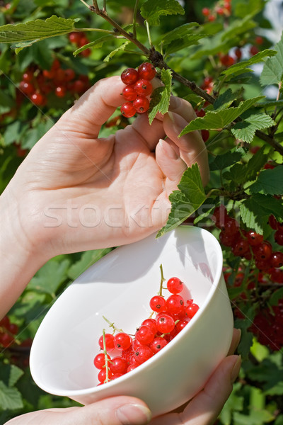 Woman's hand pick a bunch of redcurrant  Stock photo © joseph73