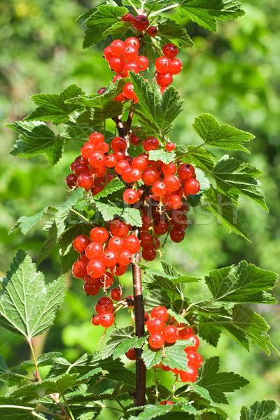 Redcurrants bunhes Stock photo © joseph73
