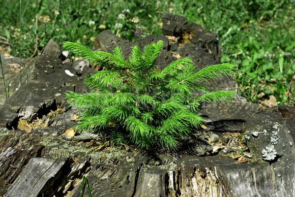 Little pine tree on a decayed stump Stock photo © joseph73