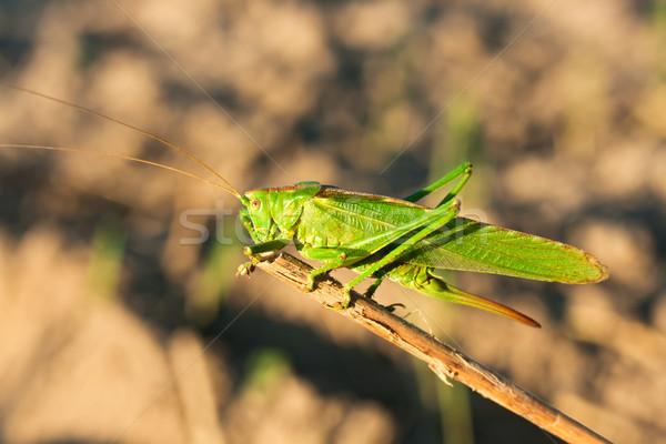 緑 グラスホッパー 背景 脚 頭 足 ストックフォト © joseph73