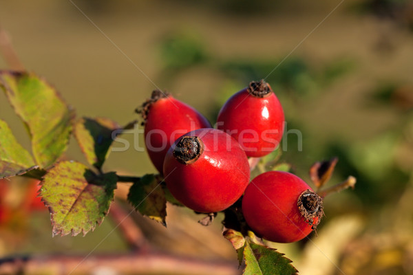 Rose-hips Stock photo © joseph73