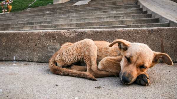 Stock photo: Young stray dog sleeping