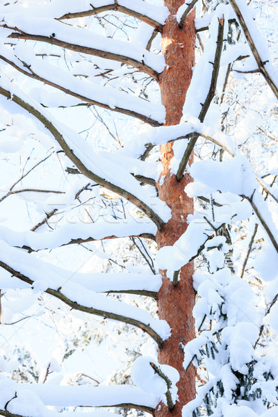 Tree trunk and branches covered in snow at winter Stock photo © Juhku