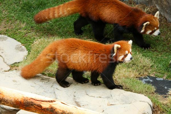 Rood panda lopen dierentuin gezicht rock Stockfoto © Juhku