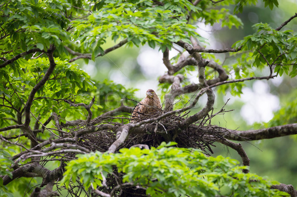 Young tiger heron in treetop nest Stock photo © Juhku
