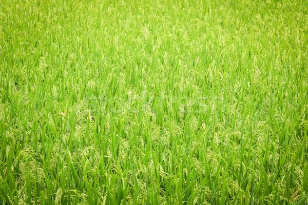 Vers rijstveld groene voedsel gras zomer Stockfoto © Juhku