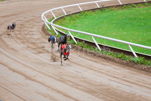 Stok fotoğraf: Tazı · köpekler · yarış · kum · izlemek · spor