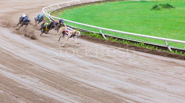 Galgo perros carreras arena tema ejecutando Foto stock © Juhku