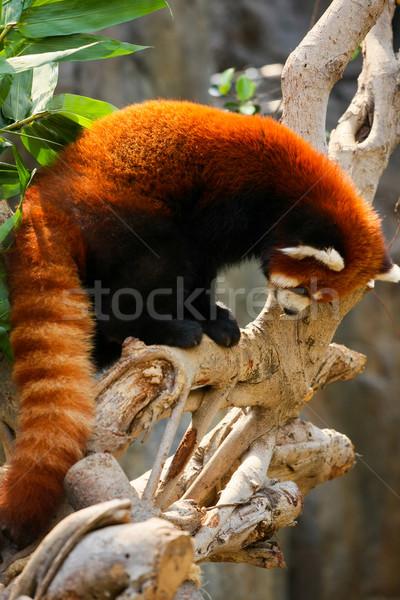 赤 パンダ 登山 ツリー 動物園 クマ ストックフォト © Juhku