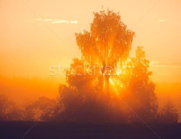 Raggi di sole albero mattina nebbia natura foto Foto d'archivio © Juhku
