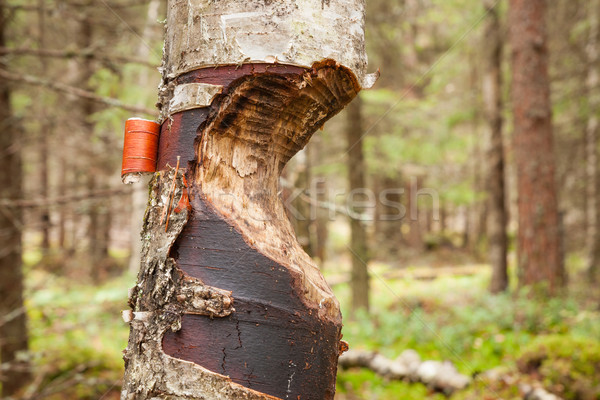 Stock photo: Tree gnawed by beaver