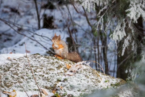 Wiewiórki zimą czerwony lasu zwierząt zimno Zdjęcia stock © Juhku