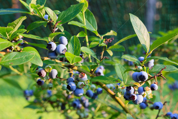 Blueberries ripening on the bush Stock photo © Juhku
