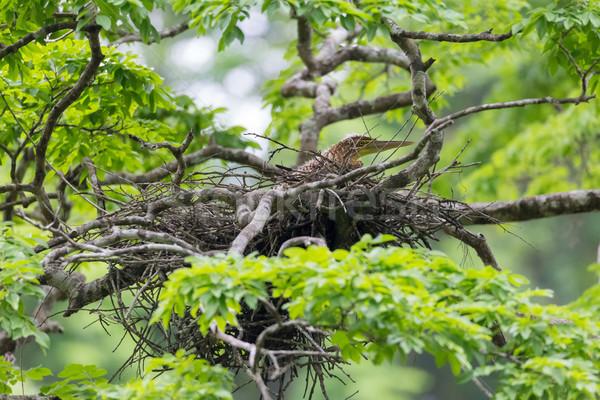 молодые тигр цапля гнезда Коста-Рика дерево Сток-фото © Juhku