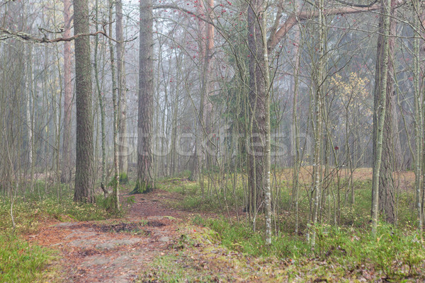Forest at foggy day Stock photo © Juhku