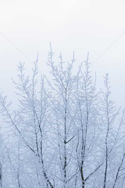 Tree top covered in snow Stock photo © Juhku
