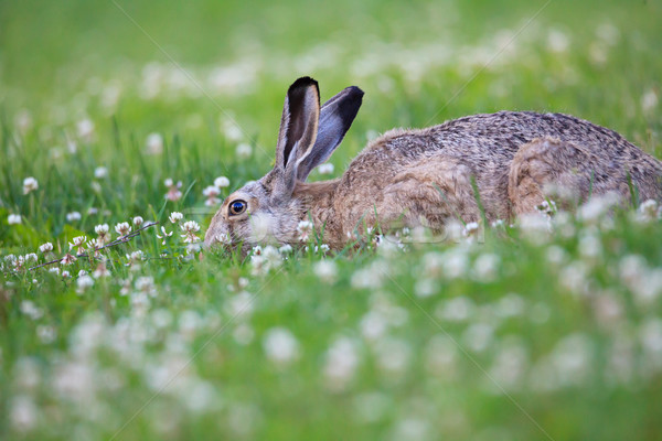 Rabbit eating grass Stock photo © Juhku