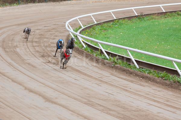 Galgo cães corrida areia seguir corrida Foto stock © Juhku