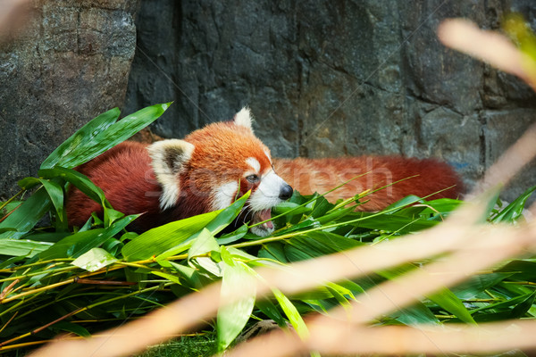 Cute red panda laying down Stock photo © Juhku