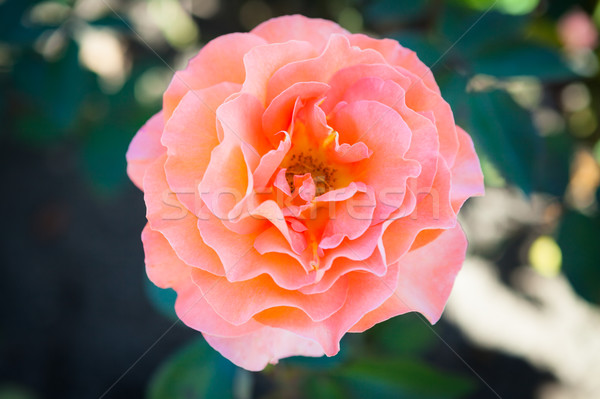 Delicate rose in garden Stock photo © Juhku
