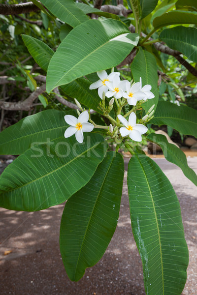 Virágok virágzó természet Costa Rica virág fa Stock fotó © Juhku