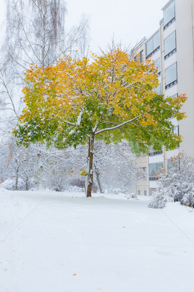 First snow and maple tree in autumn colors Stock photo © Juhku