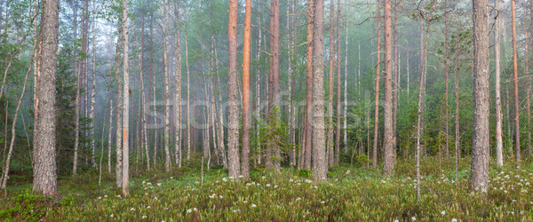 Fog in forest at dawn Stock photo © Juhku