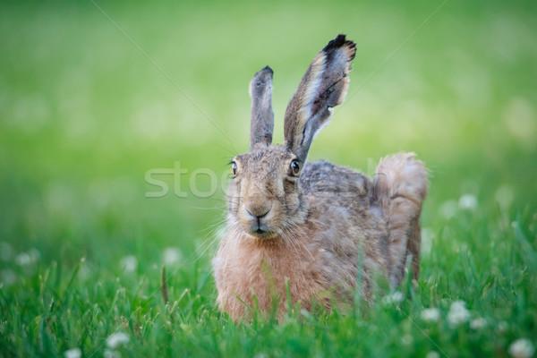 Rabbit lying down on a grass Stock photo © Juhku
