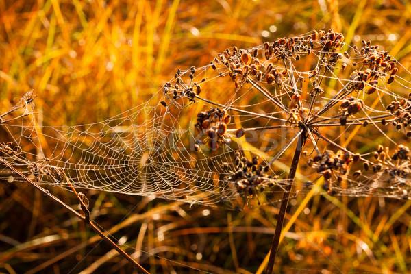 クモの巣 カバー 露 値下がり 草原 晴れた ストックフォト © Juhku