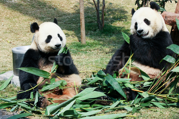 Stock photo: Two pandas eating bamboo
