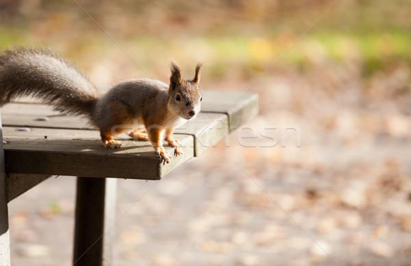 Kırmızı sincap sevimli orman park Stok fotoğraf © Juhku