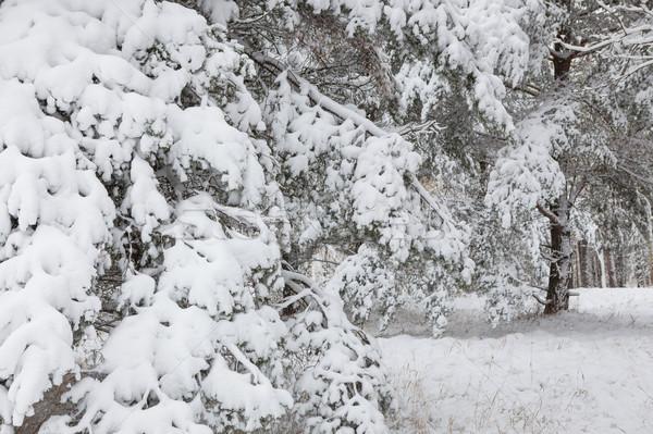 Schnee bedeckt Kiefer Niederlassungen Wald Winter Stock foto © Juhku