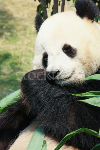 Stock photo: Panda eating bamboo