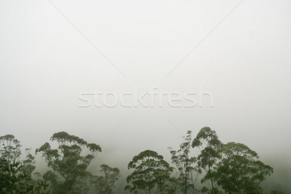 Rainforest treetops against white fog Stock photo © Juhku