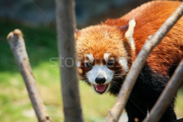 Piros panda állatkert kíváncsi kő kínai Stock fotó © Juhku