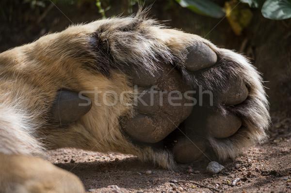 Aslan pençe büyük ayaklar uyku Stok fotoğraf © Juhku